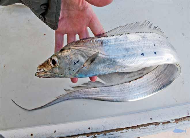 ماهی  - یالاسبی